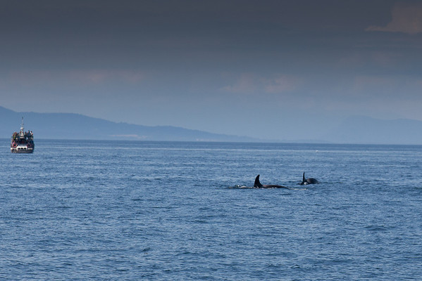 Orca Whale Watching Excursion